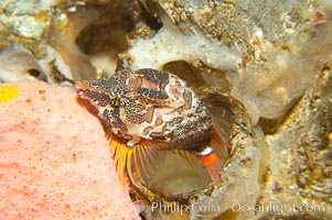 Grunt sculpin poised in a barnacle shell.  Grunt sculpin have evolved into its strange shape to fit within a giant barnacle shell perfectly, using the shell to protect its eggs and itself, Rhamphocottus richardsoni