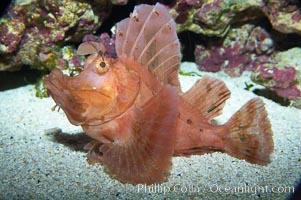Scorpionfish, Rhinopias