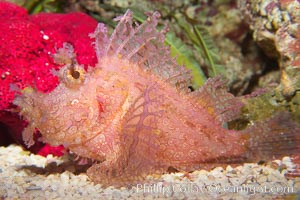 Tropical scorpionfishes are camoflage experts, changing color and apparent texture in order to masquerade as rocks, clumps of algae or detritus, Rhinopias
