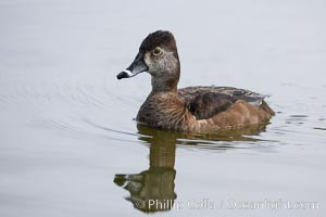 Ring-necked duck, female, Aythya collaris, Santee Lakes