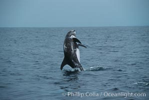 Rissos dolphin, breaching. Note distinguishing and highly variable skin and dorsal fin patterns, characteristic of this species. White scarring, likely caused by other Risso dolphins teeth, accumulates during the dolphins life so that adult Rissos dolphins are almost entirely white. San Diego, Grampus griseus