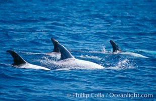 Rissos dolphins surfacing showing dorsal fins. Note distinguishing and highly variable skin and dorsal fin patterns, characteristic of this species. White scarring, likely caused by other Risso dolphins teeth, accumulates during the dolphins life so that adult Rissos dolphins are almost entirely white.  San Diego, Grampus griseus
