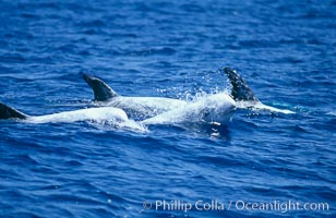 Rissos dolphins surfacing, one spouting/blowing while others show dorsal fins.  Note distinguishing and highly variable skin and dorsal fin patterns, characteristic of this species. White scarring, likely caused by other Risso dolphins teeth, accumulates during the dolphins life so that adult Rissos dolphins are almost entirely white.  San Diego, Grampus griseus