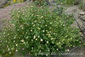 Rock daisy in spring bloom, Glorietta Canyon.  Heavy winter rains led to a historic springtime bloom in 2005, carpeting the entire desert in vegetation and color for months, Perityle emoryi, Anza-Borrego Desert State Park, Anza Borrego, California