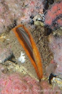 Rock scallop, Crassedoma giganteum