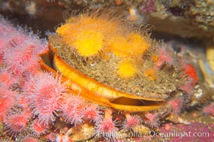 Rock scallop surrounded by strawberry anemones, Crassedoma giganteum, Corynactis californica