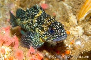 Unidentified rockfish