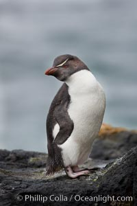 "Rockhopper penguin.  This juvenile has not yet developed the yellowish plume feathers that extend behind its red eye in adults.  The western rockhopper penguin stands about 23"" high and weights up to 7.5 lb, with a lifespan of 20-30 years, Eudyptes chrysocome, Eudyptes chrysocome chrysocome, New Island"