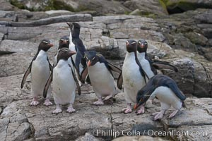 "Rockhopper penguins, on rocky coastline of New Island in the Falklands.  True to their name, rockhopper penguins scramble over the rocky intertidal zone and up steep hillsides to reach their nesting colonies which may be hundreds of feet above the ocean, often jumping up and over rocks larger than themselves.  Rockhopper penguins reach 23"" and 7.5lb in size, and can live 20-30 years.  They feed primarily on feed on krill, squid, octopus, lantern fish, molluscs, plankton, cuttlefish, and crustaceans, Eudyptes chrysocome, Eudyptes chrysocome chrysocome"