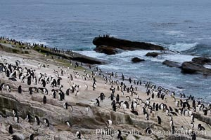 Rockhopper penguins, on rocky coastline of New Island in the Falklands.  True to their name, rockhopper penguins scramble over the rocky intertidal zone and up steep hillsides to reach their nesting colonies which may be hundreds of feet above the ocean, often jumping up and over rocks larger than themselves.  Rockhopper penguins reach 23&#34; and 7.5lb in size, and can live 20-30 years.  They feed primarily on feed on krill, squid, octopus, lantern fish, molluscs, plankton, cuttlefish, and crustaceans, Eudyptes chrysocome, Eudyptes chrysocome chrysocome
