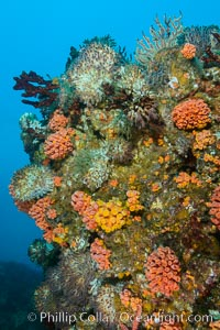 Rocky Reef and Invertebrate Life, Corals and Gorgonians, Mike's Reef, Sea of Cortez
