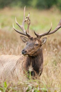 Roosevelt elk, adult bull male with large antlers.  Roosevelt elk grow to 10' and 1300 lb, eating grasses, sedges and various berries, inhabiting the coastal rainforests of the Pacific Northwest, Cervus canadensis roosevelti, Redwood National Park, California