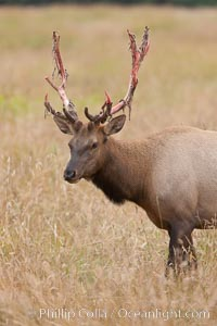 Roosevelt elk, adult bull male with large antlers.  This bull elk has recently shed the velvet that covers its antlers. While an antler is growing, it is covered with highly vascular skin called velvet, which supplies oxygen and nutrients to the growing bone; once the antler has achieved its full size, the velvet is lost and the antler's bone dies. This dead bone structure is the mature antler, which is itself shed after each mating season. Roosevelt elk grow to 10' and 1300 lb, eating grasses, sedges and various berries, inhabiting the coastal rainforests of the Pacific Northwest, Cervus canadensis roosevelti, Redwood National Park, California