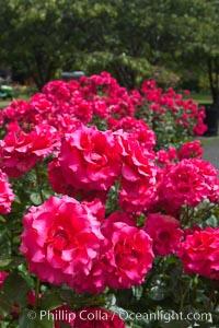 Roses, Victoria, British Columbia, Canada