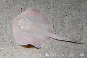 Round stingray, a common inhabitant of shallow sand flats, Urolophus halleri