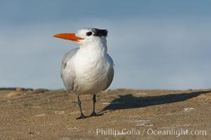 Royal tern, winter adult phase, Sterna maxima, La Jolla, California