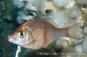 Rubberlip seaperch, Rhacochilus toxotes