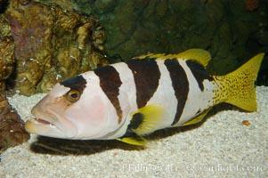 Saddleback grouper, Plectropomus laevis
