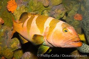 Black saddle grouper, Plectropomus laevis