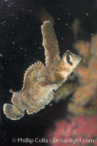 Sailfin sculpin., Nautichthys oculofasciatus, natural history stock photograph, photo id 07894