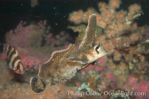 Sailfin sculpin., Nautichthys oculofasciatus, natural history stock photograph, photo id 07899