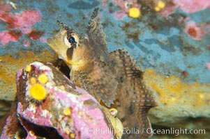 Sailfin sculpin., Nautichthys oculofasciatus, natural history stock photograph, photo id 13703