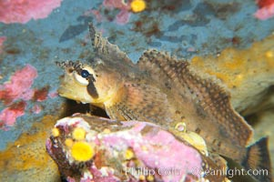 Sailfin sculpin., Nautichthys oculofasciatus, natural history stock photograph, photo id 13704