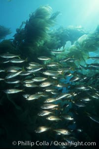 Salema and kelp, Xenistius californiensis,  Macrocystis pyrifera, Catalina Island