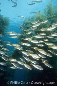 Salema schooling amid kelp forest, Xenistius californiensis, Macrocystis pyrifera,, Catalina Island