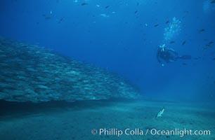 Diver and salema. Catalina Island, California, USA, Xenistius californiensis, natural history stock photograph, photo id 02424