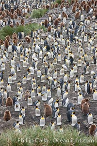 King penguins at Salisbury Plain. Salisbury Plain, South Georgia Island, Aptenodytes patagonicus, natural history stock photograph, photo id 24446