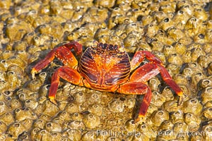 Sally lightfoot crab on barnacles. North Seymour Island, Galapagos Islands, Ecuador, Grapsus grapsus, natural history stock photograph, photo id 16604