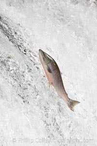 Salmon leap up falls on their upriver journey to spawn, Brooks Falls, Brooks River, Katmai National Park, Alaska