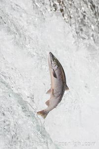 Salmon leap up falls on their upriver journey to spawn, Brooks Falls, Brooks River, Katmai National Park, Alaska