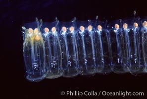 Salp (pelagic tunicate) chain, Pegea confoederata, San Diego, California