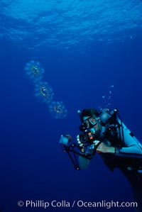 Photographer and colonial salp, open ocean, Cyclosalpa affinis, San Diego, California