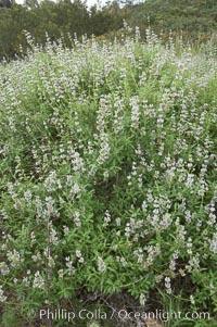 Black sage, Salvia mellifera, San Elijo Lagoon, Encinitas, California