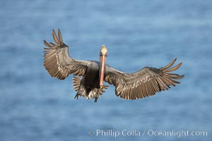 California brown pelican spreads its wings wide as it slows before landing on seacliffs, Pelecanus occidentalis, Pelecanus occidentalis californicus, La Jolla
