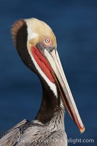 Brown pelican portrait, displaying winter breeding plumage with distinctive dark brown nape, yellow head feathers and red gular throat pouch, Pelecanus occidentalis, La Jolla, California