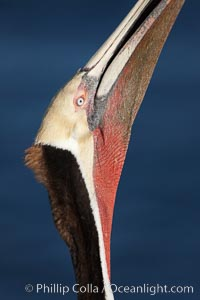 A brown pelican stretches its throat, seen here in distinctive mating coloration of red and olive, to keep it flexible and dislodge any prey that may be still in its throat pouch, Pelecanus occidentalis, Pelecanus occidentalis californicus, La Jolla, California