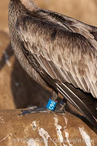 Brown pelican, juvenile with blue and gray identification bands on its legs. This large seabird has a wingspan over 7 feet wide. The California race of the brown pelican holds endangered species status, due largely to predation in the early 1900s and to decades of poor reproduction caused by DDT poisoning, Pelecanus occidentalis, Pelecanus occidentalis californicus, La Jolla