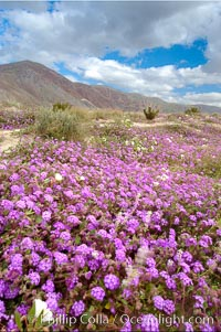 Sand verbena carpets sand dunes and washes in Anza Borrego Desert State Park.  Sand verbena blooms throughout the Colorado Desert following rainy winters. Anza-Borrego Desert State Park, Borrego Springs, California, USA, Abronia villosa, natural history stock photograph, photo id 10462