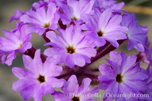 Sand verbena blooms in spring in Anza Borrego Desert State Park.  Sand verbena blooms throughout the Colorado Desert following rainy winters, Abronia villosa, Anza-Borrego Desert State Park
