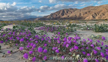 Sand verbena wildflowers on sand dunes, Anza-Borrego Desert State Park. Anza-Borrego Desert State Park, Borrego Springs, California, USA, Abronia villosa, natural history stock photograph, photo id 30495