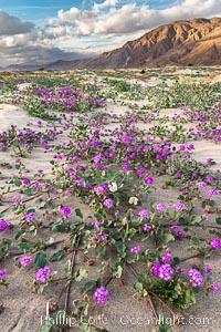 Sand verbena wildflowers on sand dunes, Anza-Borrego Desert State Park. Anza-Borrego Desert State Park, Borrego Springs, California, USA, Abronia villosa, natural history stock photograph, photo id 30496