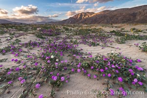 Sand verbena wildflowers on sand dunes, Anza-Borrego Desert State Park. Anza-Borrego Desert State Park, Borrego Springs, California, USA, Abronia villosa, natural history stock photograph, photo id 30516