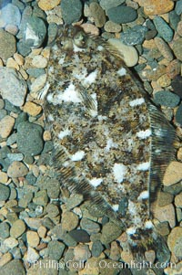 A small (2 inch) sanddab is well-camouflaged amidst the grains of sand that surround it, Citharichthys