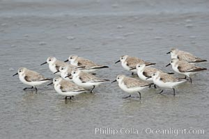 Sanderlings feed on sandy beaches, taking small invertebrates exposed by retreating surf.  Encinitas, Calidris alba