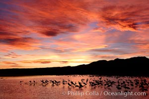 Sunset at Bosque del Apache National Wildlife Refuge, with sandhill cranes silhouetted in reflection in the calm pond.  Spectacular sunsets at Bosque del Apache, rich in reds, oranges, yellows and purples, make for striking reflections of the thousands of cranes and geese found in the refuge each winter, Grus canadensis, Socorro, New Mexico