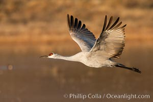 Image 26202, Sandhill crane in flight, wings extended. Bosque Del Apache, Socorro, New Mexico, USA, Grus canadensis, Phillip Colla, all rights reserved worldwide. Keywords: bird, bosque del apache, bosque del apache national wildlife refuge, bosque del apache nwr, canadensis, crane, gruidae, gruiformes, grus, grus canadensis, national wildlife refuge, new mexico, sandhill crane, wildlife.